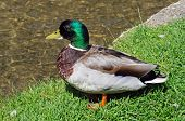 stock photo of male mallard  - Male Mallard standing on the riverbank alongside the River Windrush in the village centre Bourton on the Water Gloucestershire England UK Western Europe - JPG