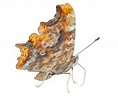 Butterfly (polygonia C-album)