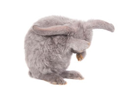 stock photo of dwarf rabbit  - Grey lop-eared rabbit rex breed isolated on white [[** Note: Shallow depth of field ** Note: Soft Focus at 100%, best at smaller sizes - JPG