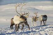 stock photo of tromso  - Reindeers in natural environment - JPG