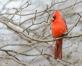 foto of cardinals  - A Male Cardinal perched on a tree branch.