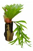 foto of epiphyte  - Staghorn fern on stump isolated on white background - JPG