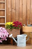 Chrysanthemum bush in wooden boxes on wooden wall background