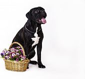 dog breed cane Corso on a white background