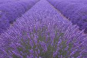 stock photo of lavender field  - Blooming lavenders field in Provence in France