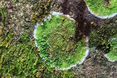 Texture Of Colored Lichen On Stone