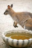 Kangaroo Next To Bowl Of Water