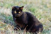 Black Cat Sitting In Grass