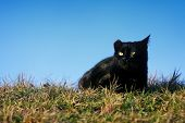Black Cat With Damaged Ear In Grass