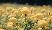image of marigold  - Marigold blooming in garden - JPG