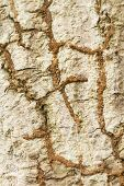 foto of termite  - Termite nest on bark tree texture background - JPG