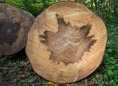 Heartwood pattern in a tree trunk