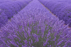stock photo of lavender field  - Blooming lavenders field in Provence in France  - JPG