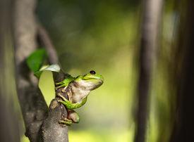 picture of cute frog  - Treefrog Hypsiboas riojanus - JPG
