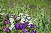 foto of petunia  - Beautiful flowerbed with many bright purple and white petunias - JPG