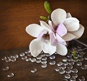 picture of magnolia  - Spring background with magnolia flowers on dark background - JPG