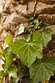 pic of vines  - Old tree with green vine on it - JPG