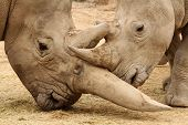 stock photo of mating  - White rhinoceros horn battle for mating rights - JPG