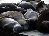 stock photo of sea lion  - Sea Lions of Pier 39 San Francisco California - JPG