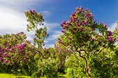 foto of lilac bush  - Garden of lilac bushes and trees against the sky - JPG