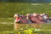 foto of hippopotamus  - Hippopotamus showing over the waters of Lake Naivasha  - JPG