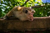 stock photo of marmosets  - Photo of the monkey stick out tongue in Sigiriya Sri Lanka  - JPG