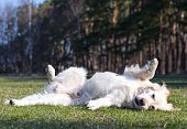 picture of disobedient  - Golden retriever turns somersaults on green lawn. Dog luxuriates in the glow of the warm spring sun on the fresh grass.