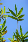 stock photo of bamboo leaves  - Bamboo green leaves on blue sky background - JPG