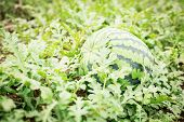 foto of muskmelon  - Watermelon on the green watermelon plantation in the summer - JPG