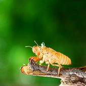 picture of exoskeleton  - Cicada shedding its shell animal wildlife skin - JPG