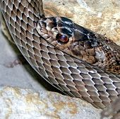 picture of snake-head  - A snakes head leaning on its body - JPG