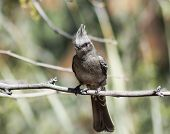 picture of flying-insect  - A Female Phainopepla on a Branch with a Flying Insect in its Beak - JPG