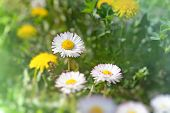 image of daisy flower  - Daisy flowers in grass  - JPG