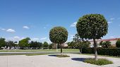 picture of tree trim  - Backyard with ball trimmed Ficus trees in California neighborhood - JPG
