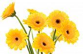 Yellow Herberas
