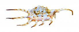 image of conch  - Shell of Lambis Scorpius or Scorpion Spider Conch is a species of sea snail marine gastropod mollusk in the family Strombidae isolated on white background with clipping paths - JPG