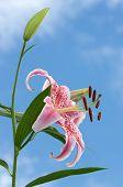 Fragrant Oriental Lily