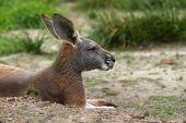 Red Kangaroo resting