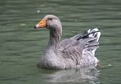 Goose swimming in a pond