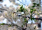 stock photo of cherry trees  - a macro shot of a tree in spring with flowering cherry blossoms - JPG