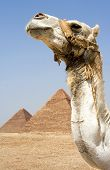 Camel In Front Of Egyptian Pyramids