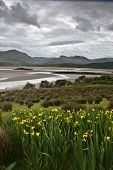 landscape ireland yellow flowers green meadow estuary sea mountains and clouds at brandon bay Dingle