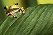 tree frog looking over green leaf amphibians are nocturnal endangered animals need nature conservati