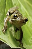 Osteocephalus leprieurii tree frog in the bolivian rain forest sitting on leaf