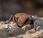 Little Brown morcego (Myotis lucifugus)
