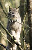 Bobcat em uma árvore