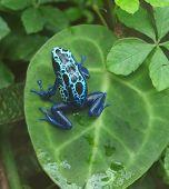 Tingimento Poison Dart Frog ((dendrobates Tinctorius)