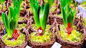 Arboretum, Planting, Hyacinth, Indoors, Isolated, Leaves, Lush, Nobody, Plant, Plant Nursery, Plants poster