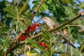 A Graceful Prinia Perches On A Tree With Red Flowers In The Background In Muscat, Oman (prinia Graci poster