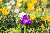 The First Spring Flowers Crocus. Colorful Spring Fragrant Flowers Of Crocus And Green Grass. Spring  poster
